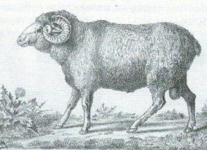 Spanische Merino-Schafe in der Eifel?